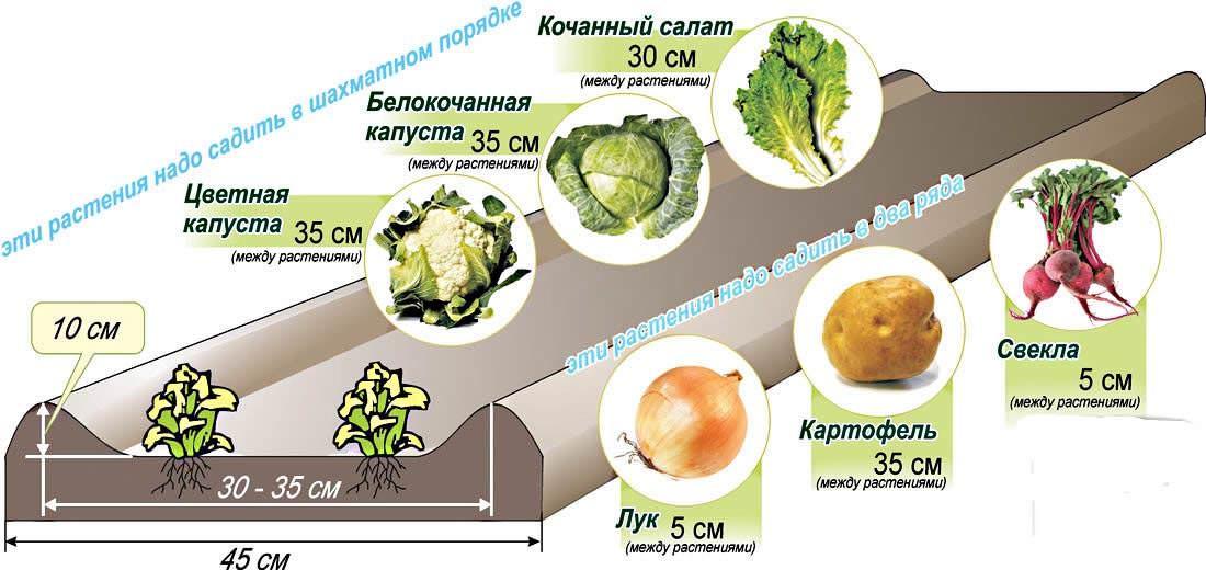 Схема посева семенного материала на грядки Миттлайдера хорошо показана в таблице