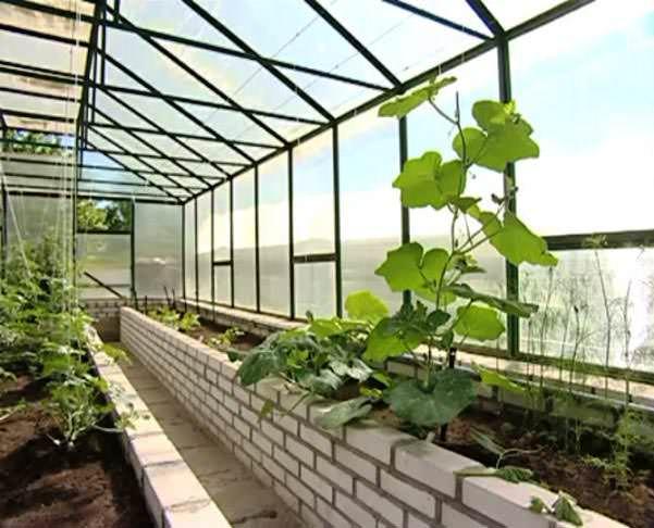 Правильное расположение растений в теплице –  гарантия хорошего урожая