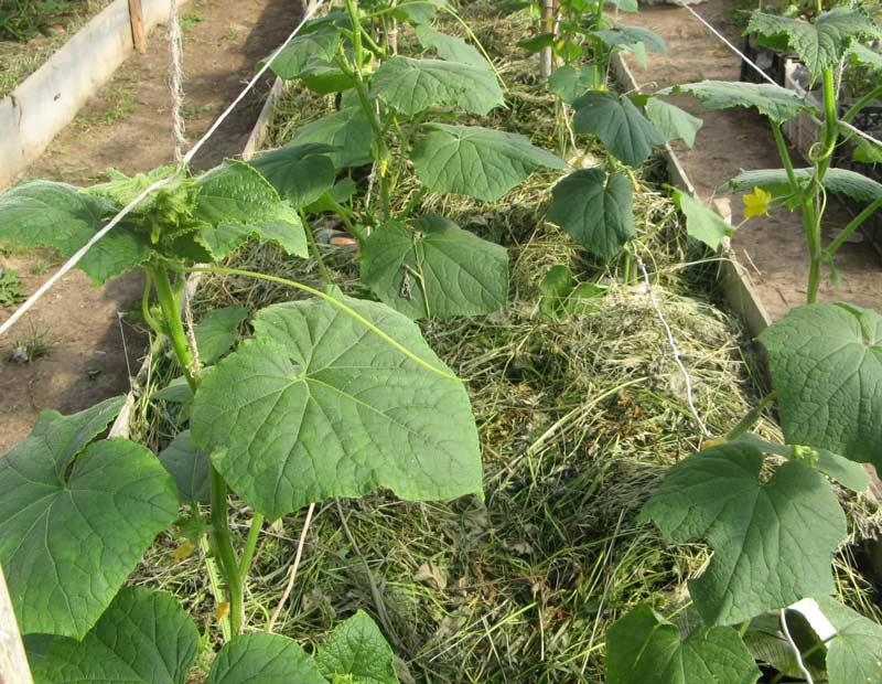 Тёплая грядка для огурцов может формироваться на основе обычной скошенной травы, что очень удобно для большинства огородников