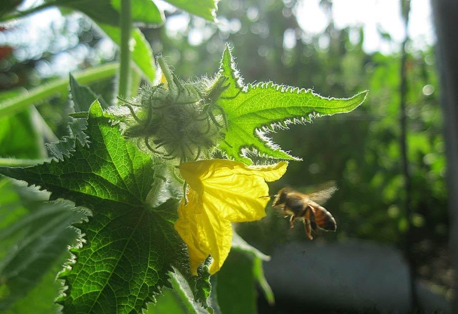 Пчелоопыляемые сорта в тепличных условиях требуют повышенного внимания и выполнения ручного или механического опыления