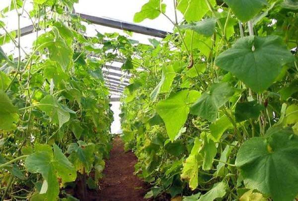 Выращиванием огурцов сейчас занимается большинство огородников нашей страны