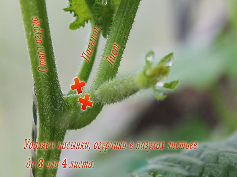 После правильно выполненной прищипки, происходит интенсивное ветвление огуречного стебля, что способствует увеличению количества завязей и благотворно сказывается на урожайности