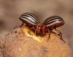 Колорадский жук способен снижать урожайность картофеля