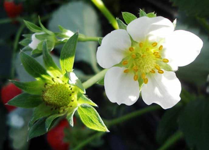 На фазе цветения клубника больше всего нуждаются в подкормке фосфором