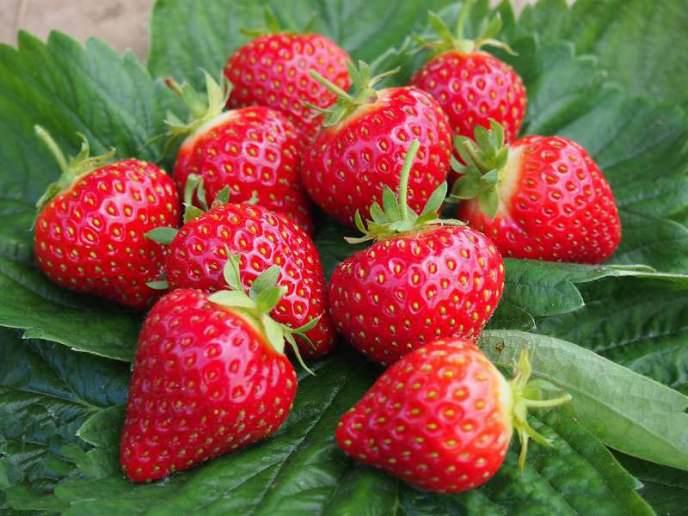 Сорт «Хоней» подходит для выращивания в течение всего года, дает большое количество урожая