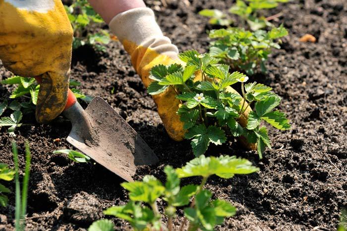 Для клубники следует выбрать лесные почвы, черноземы или дерново-подзолистые грунты. Оптимальный вариант – выбор легкосуглинистых почв, которые достаточно влагоустойчивы и обеспечивают хорошую аэрацию корней