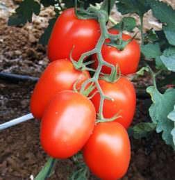 Сорт Рома широко распространен в США