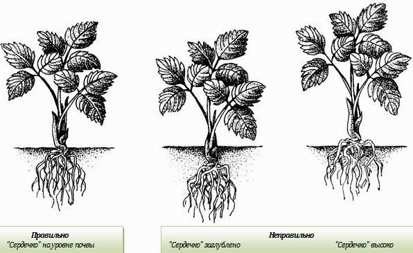 При правильной посадке «сердечко» тепличной клубники должно быть на уровне с поверхностью почвы