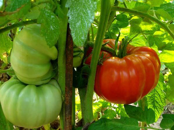 Проблема созревание помидор особенно актуальна для частей страны, где наблюдается холодный климат