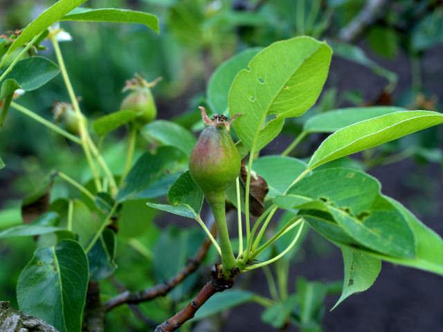 После цветения необходимо подкормить грушу с целью повышения качественных показателей урожая