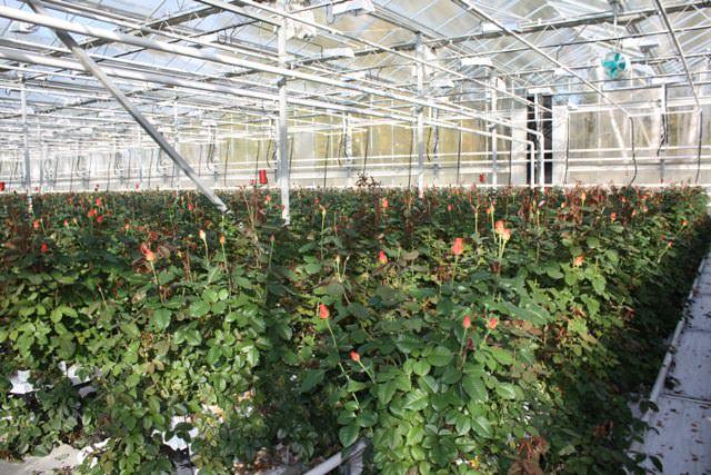 Выращивание роз в теплице предполагает проведение ухода