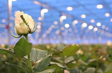 Розы в теплице выращивать можно круглогодично