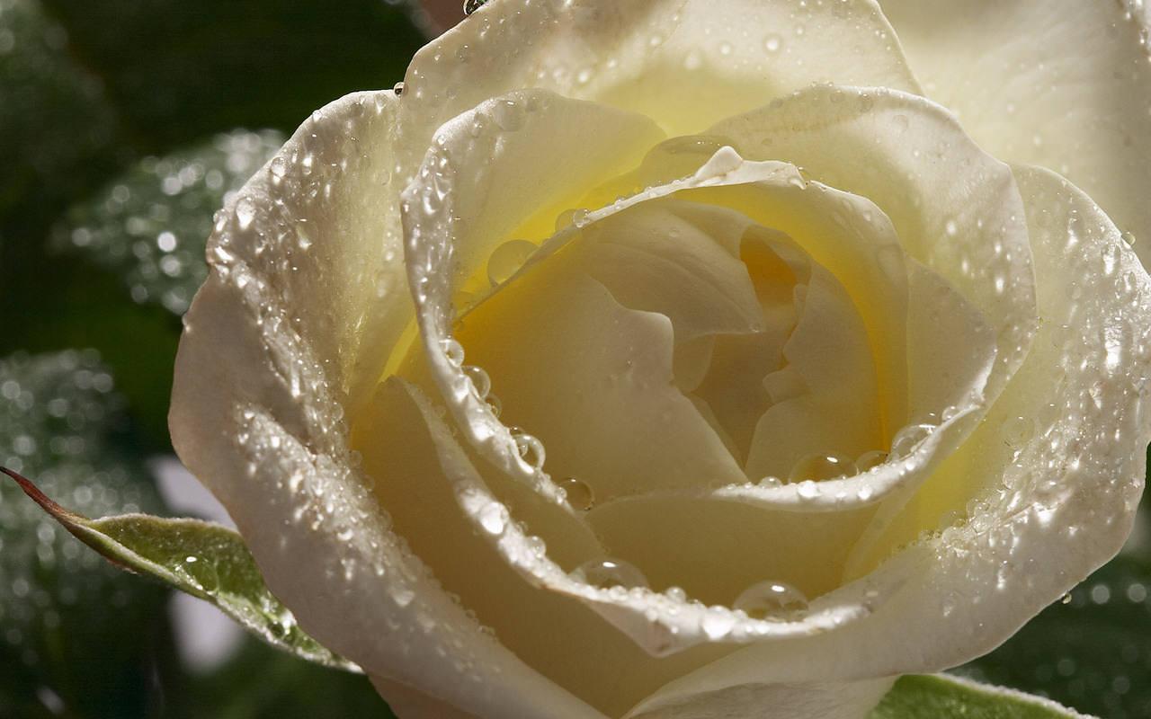Розы не могут обойтись без влаги