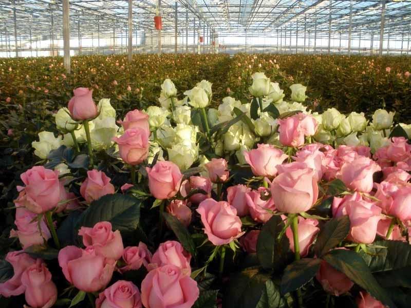 Розы под срезку не терпят стеснения