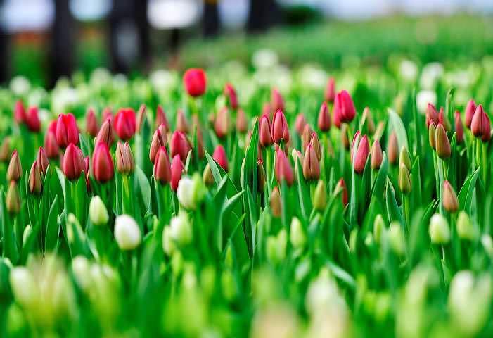 При посадке тюльпанов важно не ошибиться с отбором здоровых луковиц: из них вырастают крупные цветы