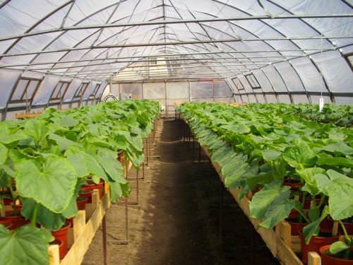 Выращивание кабачков в теплице становится популярным