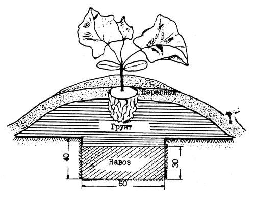 Посадка кабачков предполагает рядовой способ с глубиной лунок порядка двадцати сантиметров