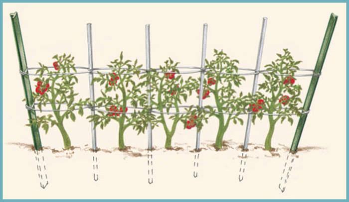 Кольевой способ подвязки томатов в теплице отличается простотой