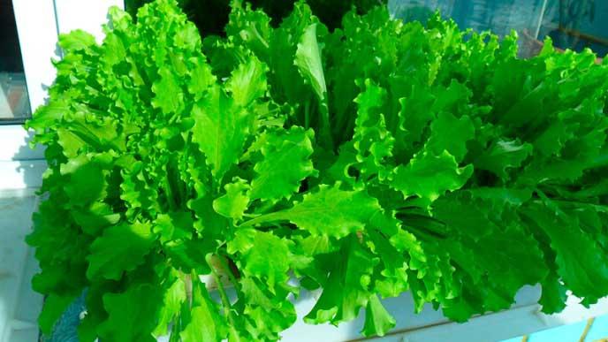 Достаточно часто в домашних условиях выращиваются листья салата