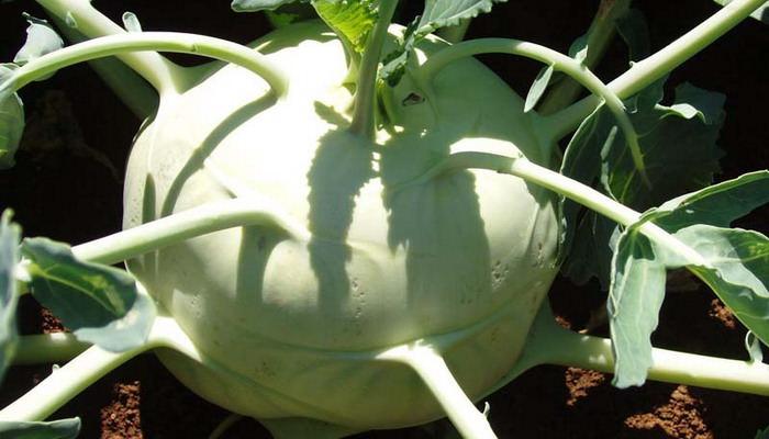 Среднеспелый гибрид «F1-Каратаго», характеризующийся очень крупными стеблеплодами светло-зелёного цвета, которые не склонны к растрескиванию