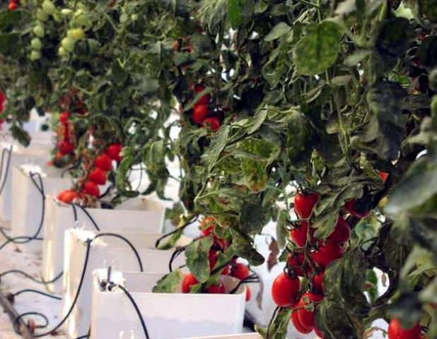 Капельная система обеспечивает идеальное качество полива любых растений в теплицах всех типов