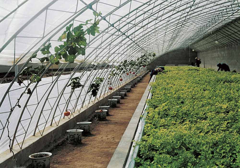 Трудящиеся Поднебесной не только полностью обеспечивают огородными культурами внутренний рынок, но и с успехом экспортируют значительную часть выращиваемой продукции в другие страны