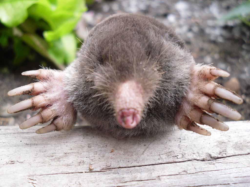 Борьба с полевыми мышами, кротами и крысами редко ограничивается одним дачным сезоном