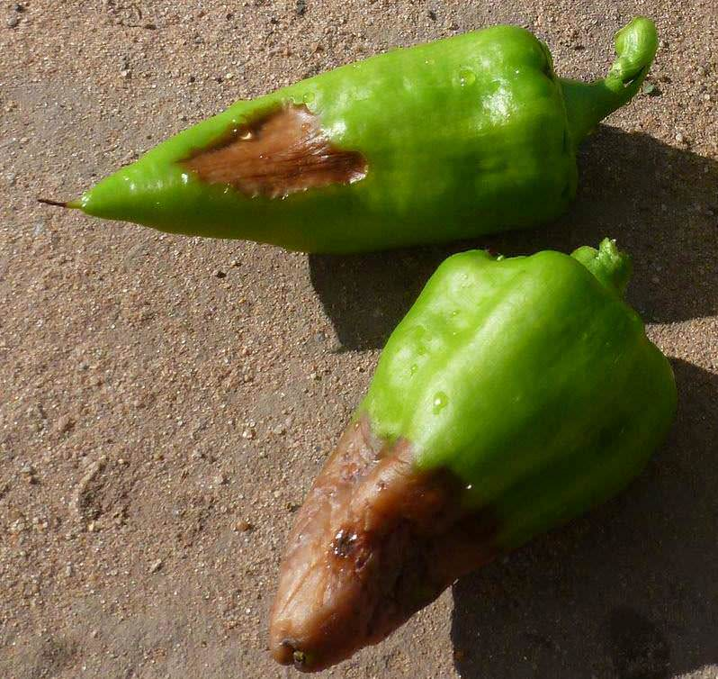Некоторые болезни способны уничтожить урожай перца