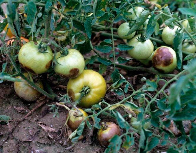 Если на помидорах был замечен фитофтороз, собрать плоды необходимо до начала сентября