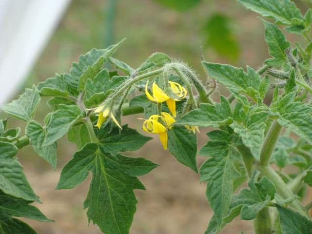 Чтобы предотвратить появление фитофторы, в процессе цветения томаты опрыскивают раствором борной кислоты