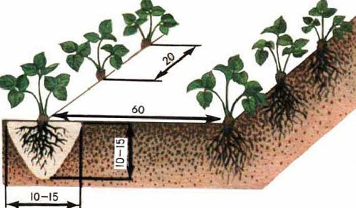Посадочные лунки в подготовленных грядах делают с расстоянием в двадцать сантиметров и глубиной, зависящей от размеров кустика