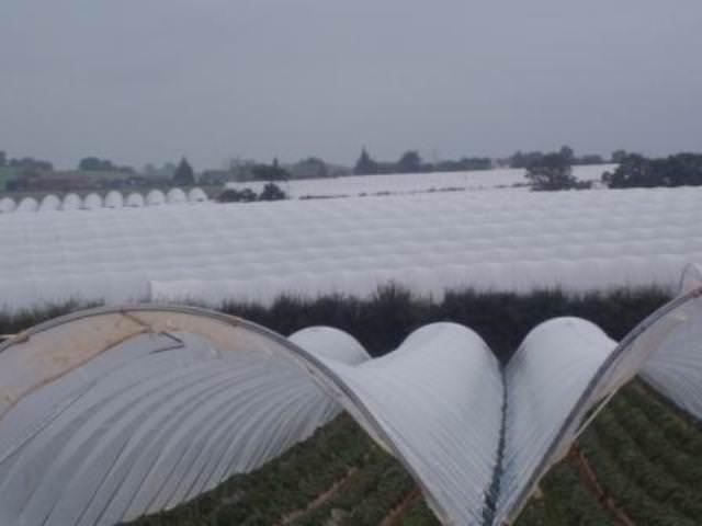 Выращивание клубники в парнике предполагает проведение регулярного полива