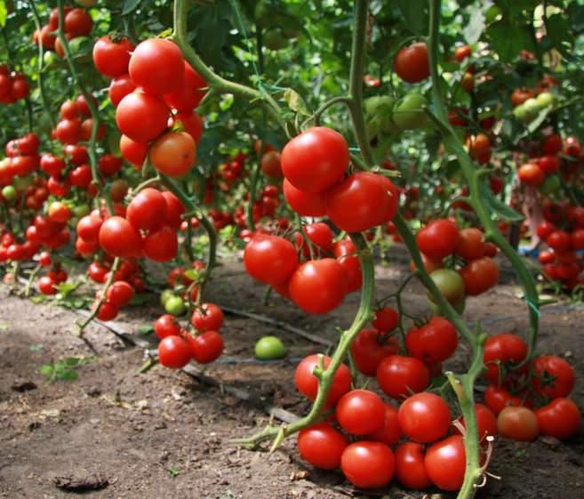 Томаты высокорослых сортов для теплицы хороши тем, что они позволяют получить больший урожай