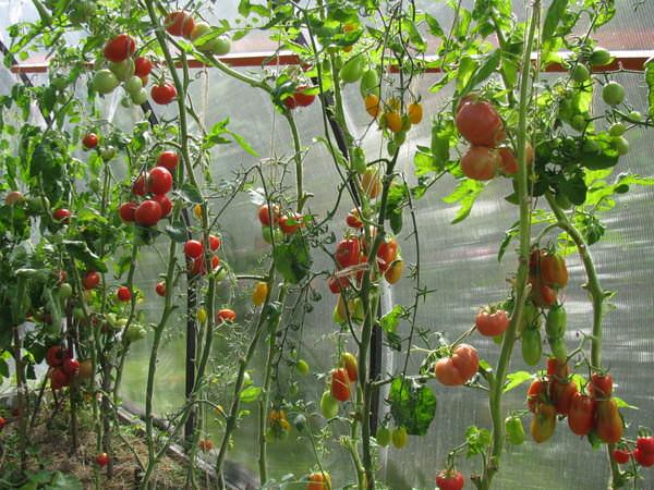 На рост и количество плодов оказывает влияние и форма растений