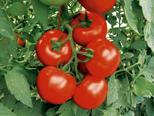 Высокорослые помидоры принято выращивать в промышленных теплицах