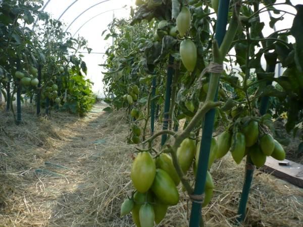 Выращивать высокорослые сорта лучше всего на шпалерах