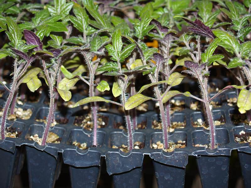 Выращивание рассады происходит за 2 месяца до высадки в грунт