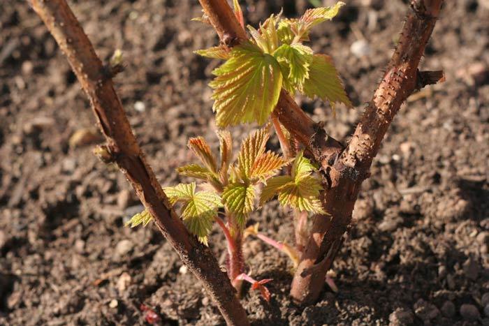 Шейка корня растения должна находиться на одном уровне с поверхностью почвы
