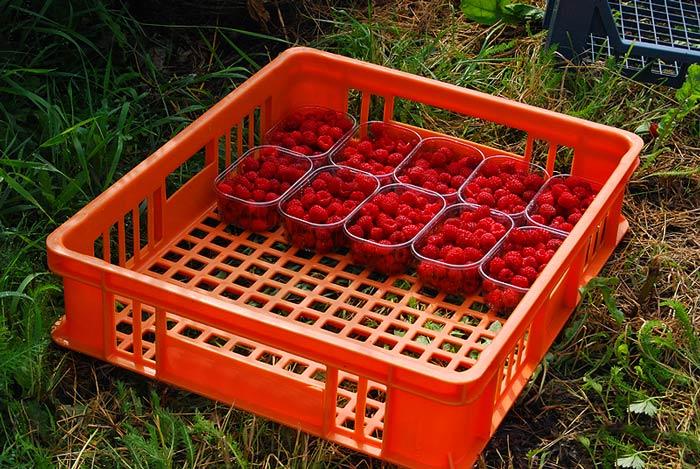 Обычная садовая малина имеет короткие сроки плодоношения и сбора ягод нивелируются высоким уровнем урожайности