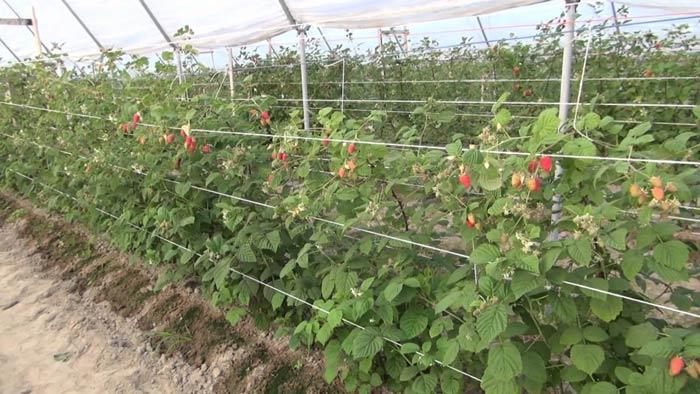 Выращивание кустарников малины в защищённом грунте базируется на использовании ремонтантного вида этого растения, агротехника которой имеет значительные отличия