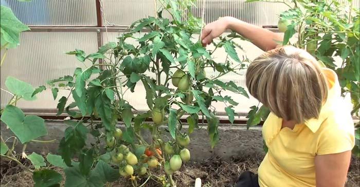 Чтобы выращивание ранних томатов дало хорошие результаты, следует грамотно выбрать сорт и обеспечить уход