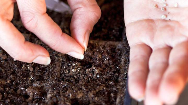 Семена томатов на рассаду следует выращивать в увлажненный грунт
