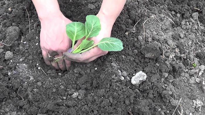 Вырастить раннюю капусту под силу любому дачнику