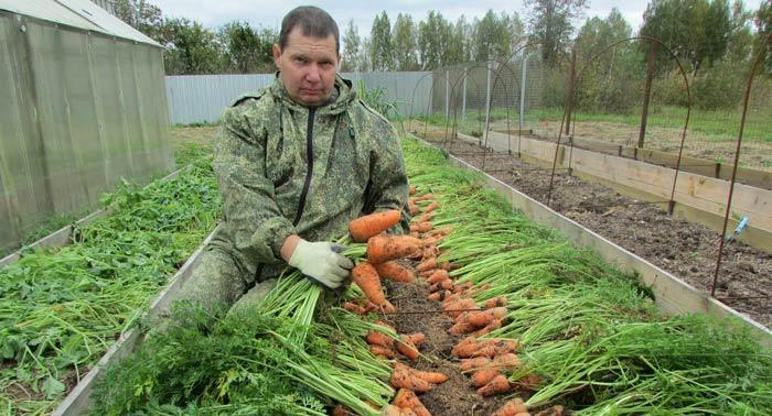 В своё время эта овощная культура культивировалась исключительно на грядах открытого грунта, а посев моркови выполнялся не только ранней весной, но и под зиму