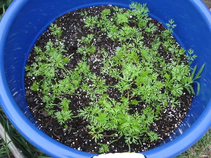 Для сева следует использовать откалиброванный семенной материал, имеющий хороший запас питательных веществ
