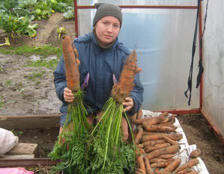 Выращивать морковь в тепличных хозяйствах стали относительно недавно