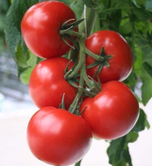 Верлиока — это среднерослый сорт томатов, предназначенных для выращивания в теплице