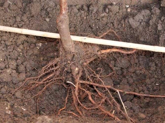 Корневую систему груши следует аккуратно расправить и тщательно присыпать плодородной почвой