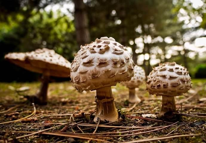 Сбор гриба-зонтика краснеющего ведется с середины лета до первых заморозков
