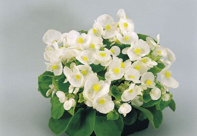 За растением, цветущим летом и весной, ухаживают внимательно и бережно